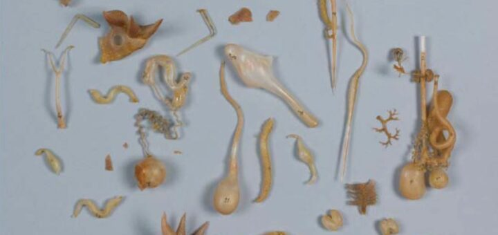 étude et conservation-restauration d'un modèle anatomique en verre de Sepia officinalis de Leopold et Rudolf Blaschka